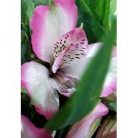 Λουλουδια Χονδρικης - alstromeries roz