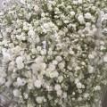 Λουλουδια Χονδρικης - gypsofilla a' ellhnika
