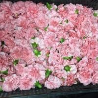 Λουλουδια Χονδρικης - γαρυφαλλα κεφαλια ροζ