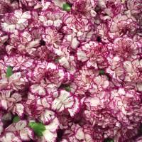 Λουλουδια Χονδρικης - garifalla kefalia dixrwma