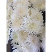 Λουλουδια Χονδρικης - xrysanthema anastasia kefalata