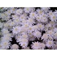 Λουλουδια Χονδρικης - χρυσανθεμα baltica