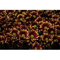 Λουλουδια Χονδρικης - xrysanthema dixrwma