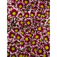 Λουλουδια Χονδρικης - χρυσανθεμα διχρωμα