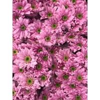 Λουλουδια Χονδρικης - χρυσανθεμα ροζ