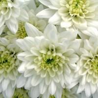 Λουλουδια Χονδρικης - xrysanthema euro