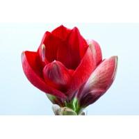 Λουλουδια Χονδρικης - amaryllides kokkines