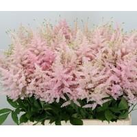 Λουλουδια Χονδρικης - astilbes jap europe