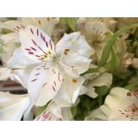 Λουλουδια Χονδρικης - alstromeries aspres