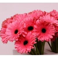 Λουλουδια Χονδρικης - ζερμπερες ροζ-μαυρο