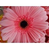 Λουλουδια Χονδρικης - zerberes roz