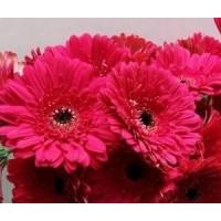 Λουλουδια Χονδρικης - ζερμπερες φουξια