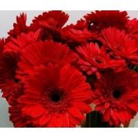 Λουλουδια Χονδρικης - zerberes kokkines