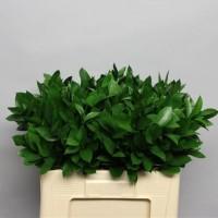 Πρασιναδα - prasinades ruscus hypophyllum