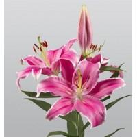 Λουλουδια Χονδρικης - oriental roz