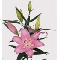 Λουλουδια Χονδρικης - oriental apalo roz
