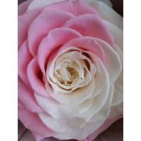 Τριανταφυλλα - τριαντάφυλλα preserved Multicolour