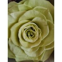 Τριανταφυλλα - τριαντάφυλλα preserved xxl lemon