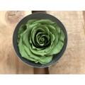 Τριανταφυλλα - τριαντάφυλλα preserved green