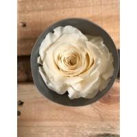 Τριανταφυλλα - τριαντάφυλλα preserved champagne