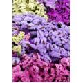 Λουλουδια Χονδρικης - amarantoi