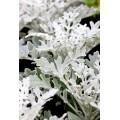 Λουλουδια χονδρικης - Πρασιναδα - πρασινάδα senecio