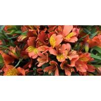 Λουλουδια Χονδρικης - alstromeries portokali