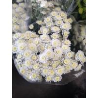 Λουλουδια Χονδρικης - χρυσανθεμα σταλιουμ