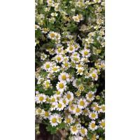 Λουλουδια Χονδρικης - xamomilia