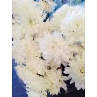 Λουλουδια Χονδρικης - χρυσανθεμα λευκα